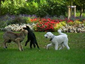 Glückliche Junghunde beim Spiel