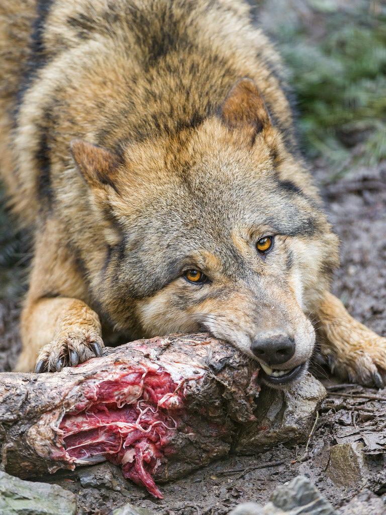 Wolf-essen